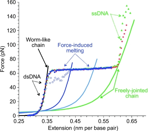 Force extension and relaxation data for phage λ-DNA are shown as solid and open circles, respectively. As the DNA is extended and unwound, the tension increases. In the overstretching transition, base stacking is disrupted and dsDNA is melted, becoming ssDNA tethered by a few remaining G−C-rich regions. Force-induced melting is reversible, though there is some hysteresis due to the relatively slow observed time scale of reannealing (blue circles). Complete strand separation is observed at much higher forces (red and green symbols). The solid black line is a fitted polymer model of dsDNA, known as the worm-like chain model, while ssDNA elasticity is described by the freely jointed chain model (green line). Models of composite DNA (1/3 ssDNA−2/3 dsDNA and 2/3 ssDNA−1/3 dsDNA) are shown as intermediates (blue lines) and are described in the text. Thus force extension measurements reveal the fractional DNA melting. The experimental buffer contains 10 mM HEPES (pH 7.5) and 100 mM Na+.