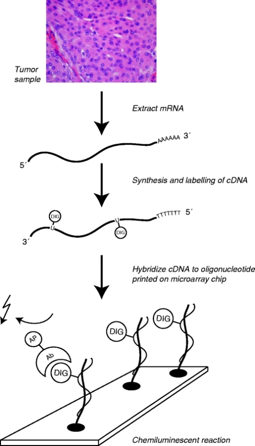 "Principle behind microarray analysis (Human Genome Microarray, Applied Biosystems). mRNA extracted from a biological sample is labeled and converted into cDNA. On a microarray slide (""chip""), thousands of oligonucleotides representing individual genes are positioned in predefined positions. If the corresponding cDNA is present, it will hybridize to the oligonucleotide. By a chemiluminescent reaction, the presence of cDNA can be measured"