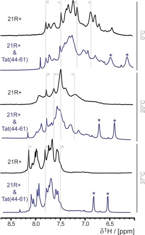 Tat(44–61) selects a specific RNA structure. 1H 1D NMR spectra of 21R+, a 21nt single stranded RNA, in the absence (black) or the presence (blue) of two equivalents of Tat(44–61) at different temperatures (indicated in gray at the right panel of the figure) were recorded. The chemical shifts of the aromatic protons did not overlap with the peptide chemical shifts and serve thus as an indicator for the peptide's influence on the RNA conformation: the only visible peaks of the peptide in this spectral region are stemming from the aromatic protons of Y47 and are marked with asterisks. To follow changes in the spectrum upon addition of peptide gray dotted lines are added exemplarily, the symbol indicate if peaks are shifting upon addition of the peptide (less than and greater than symbol) or show no change (struck through circle).