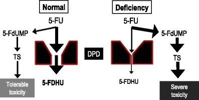 DPD-dependent inactivation of 5-FU and effects of DPD deficiency. For abbreviations, see Fig. 1