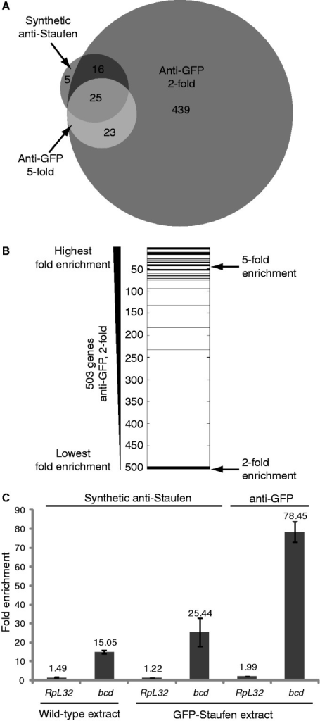 Comparison of the synthetic anti-Staufen and anti-GFP-Staufen RIPs. (A) A Venn diagram [generated using the BioVenn web application (48)] shows overlap of Staufen targets from the synthetic anti-Staufen RIP with a fold enrichment cut-off of at least two (dark grey) and the transgenic anti-GFP RIPs with fold enrichment cut-offs of at least two (medium grey) or five (light grey). (B) The 503 genes from the anti-GFP 2-fold list were ranked according to decreasing fold enrichment and the 41 overlapping genes from the synthetic anti-Staufen 2-fold list were then overlaid in black showing that they represent genes with some of the highest fold-enrichments. (C) RT-qPCR analysis of the enrichment of the target mRNA bicoid and the reference mRNA RpL32 in Staufen RIPs conducted using wild-type extract and synthetic anti-Staufen, transgenic GFP-Staufen extract and synthetic anti-Staufen, and transgenic GFP-Staufen extract and anti-GFP. Each bar represents the average fold enrichment of the respective transcript in the anti-Staufen RIPs relative to the appropriate control. Error bars represent the standard error of the mean for n = 3 biological replicates.