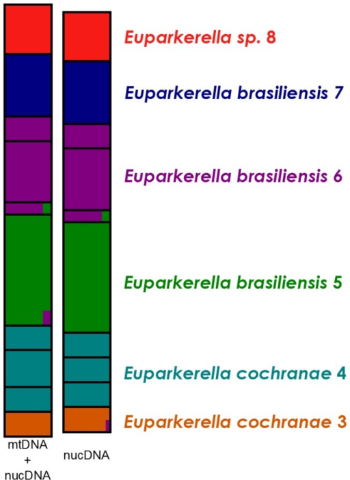 Structure results for Euparkerella populations.Assignment proportion of individuals to populations of Euparkerella from Rio de Janeiro State. Structure results for number of groups K=6. Left bar includes both mitochondrial and nuclear genes, right bar includes only nuclear genes.