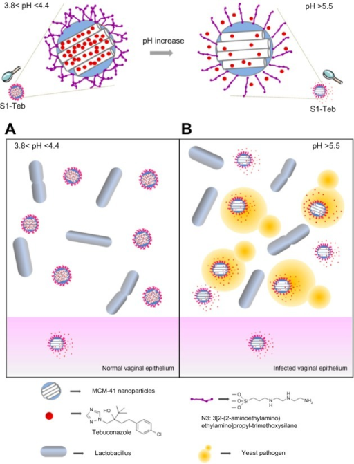 Schematic representation of the design and action mechanism of S1-Teb under usual vaginal conditions (A) and in the presence of Candida albicans (B) (Saccharomyces cerevisiae has been used in experimental assays as a model organism).Abbreviation: MCM-41, mobil composition of matter-41; S1-Teb, MCM-41 loaded with tebuconazole.