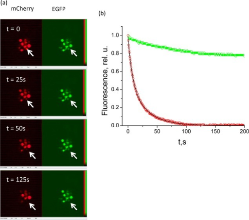 (a) TPLSM imaging of HEK cells cotransfected with EGFP(green)and mCherry (red). The frames from top to bottom correspond to 0,25, 50, and 125 s of raster scanning, with the rate of 2 frames/s.(b) Temporal decay of the fluorescence signal of EGFP (green) andmCherry (red). The biexponential fit to the latter is shown by a continuousblack line.