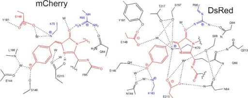 Schematic diagram ofthe mCherry (left) and DsRed (right) chromophoreenvironments.41,44 Hydrogen bonds are presentedby dashed lines, charged groups are highlighted with color (blue,positive; red, negative), and water molecules are designated as W.