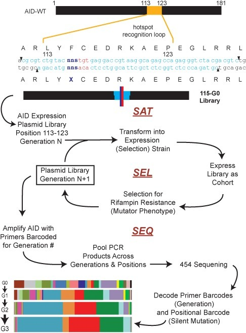 Sat-Sel-Seq methodology. Oligonucleotide cassettes (light blue) containing degenerate codons (NNS) at each position (dark blue) and neighboring silent mutations (red) were cloned into AID expression plasmid to construct saturation mutant libraries. Shown is the representative sequence of a Generation 0 (G0) library for Position 115. The G0 libraries were transformed into E. coli, expressed as a cohort and subjected to rounds of selection for acquired resistance to rifampin to generate subsequent generations of the library. The generational libraries were PCR amplified with primers barcoded for the generation number and the pooled PCR samples were sequenced by 454 high-throughput sequencing. The resulting data were decoded using generational and positional bar codes to catalog the evolution of codons over the generations at each position as shown in Supplementary Figure S1.