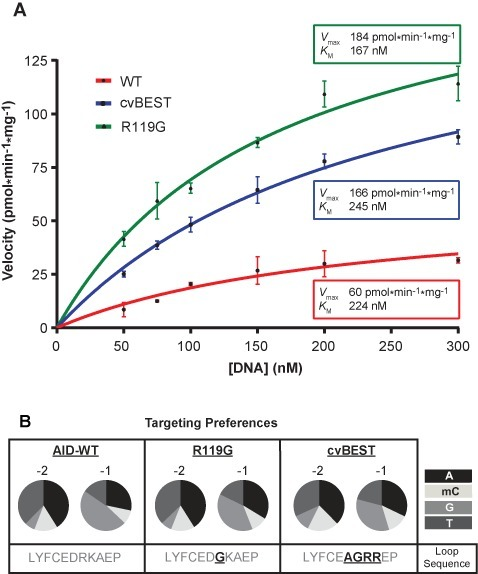 Characterization of hyperactive AID variants. (A) Kinetics for deamination with hyperactive AID variants. Deamination assays were carried out with 32P end-labeled 27-mer substrate containing a single cytosine in an AGC hotspot. The rate of product formation was determined at various substrate concentrations and the mean and standard deviation from at least three replicates are shown for each condition. The curves were fit to the Michaelis–Menten equation and the determined values for Vmax and Km are reported. (B) AID-WT, R119G and cvBEST were assayed against an array of substrates that contained a single cytosine in 1 of 16 XXC sequence contexts, where X = A, mC, G or T. The percent product formation for each substrate was determined and the overall preferences at the -2 and -1 positions were determined based on the averages across each position (Supplementary Figure S6). The preferences at the -2 and -1 positions are represented as a pie chart for A, mC, G or T.
