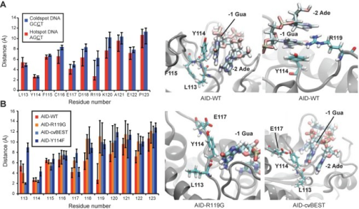 MD simulations of AID interactions with DNA. (A) Residue-to-DNA time-averaged distances between targeting loop residues and the hotspot or coldspot DNA sequences. Representative images showing the interactions of Leu113, Tyr114, Phe115 and Arg119 to the hotspot DNA are depicted in the two panels at right. (B) Residue-to-DNA time-averaged distances between the AID-WT, Y114F, R119G or cvBEST loops and hotspot DNA, calculated from the sampled distances in the 120 ns simulation trajectories. Notably, the Leu113 backbone oxygen forms closer interactions in the R119G and cvBEST mutants. Snapshots of R119G and cvBEST interacting with the hotspot DNA are shown in the right two panels.
