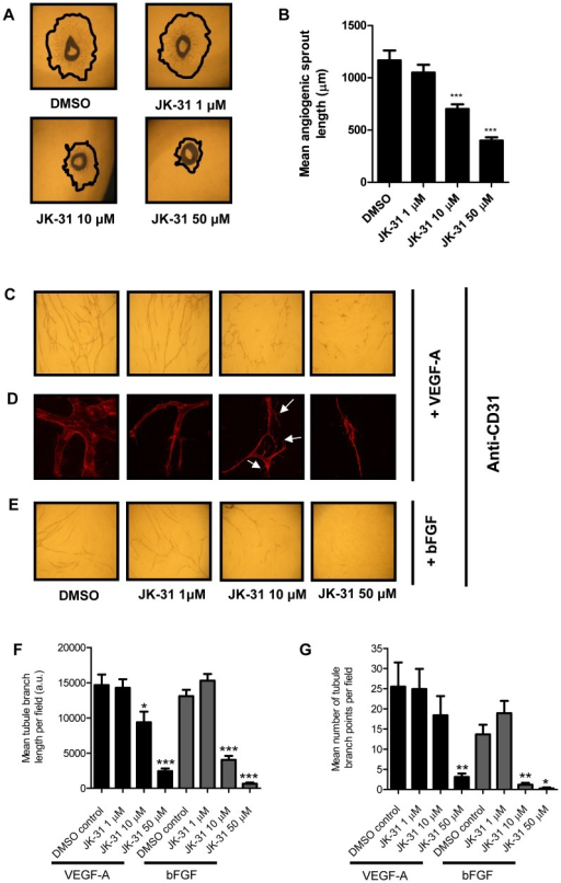 JK-31 inhibits angiogenesis in an ex vivo murine model and in vitro.(A) Effects of JK-31 on ex vivo angiogenic sprouting from wild-type mouse aortic ring explants. Aortic rings were seeded onto Matrigel and treated with JK-31 (0, 1, 10 or 50 µM) for six days and imaged by phase-contrast microscopy. Freehand black lines delineate the outermost extent of sprouting. (B) Absolute quantification of angiogenic sprout length. For each aortic ring, the mean of three longest sprouts was calculated. Error bars represent ±SEM (n = 18; ***p<0.001). (C) JK-31 inhibits endothelial tube formation in vitro in response to exogenous VEGF-A. HUVECs were seeded onto a confluent layer of primary fibroblasts and treated with VEGF-A (10 ng/ml) for seven days in the presence of DMSO or JK-31 (1, 10 or 50 µM). Co-cultures were stained with CD31 antibody followed by HRP-conjugated secondary antibody and visualized by light microscopy using 1,1-diaminobenzidine (DAB)-staining (see Materials and Methods). (D) Fluorescence microscopy analysis of endothelial cell phenotypes and filopodia formation during tubulogenesis in the presence of VEGF-A and JK-31. White arrowheads indicate vestigial lamellipodia-like structures. (E) JK-31 inhibits endothelial tube formation in vitro in response to exogenous bFGF (20 ng/ml). Treatment and processing was carried out as described above. Quantification of (F) mean tubule branch length and (G) mean number of tubule branch points in response to JK-31 and exogenous growth factors. Light micrograph fields were chosen at random and quantification performed using Image J software. Error bars represent ± SEM (n = 10; *p<0.05; **p<0.01; ***p<0.001) for each respective growth factor.