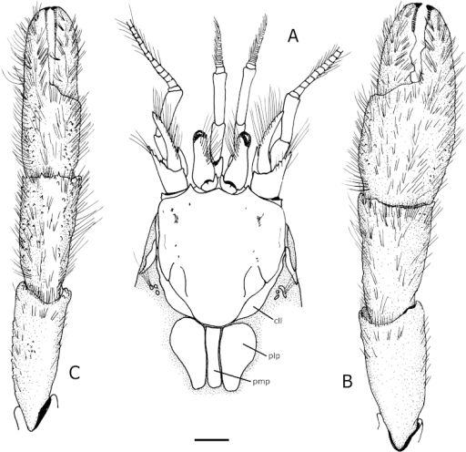 Tomopaguropsisahkinpechensis sp. n. paratype male, 8.1 mm (USNM 12376795). A shield, cephalic appendages, and portion of posterior carapace showing dorsal figs, dorsal B right cheliped, dorsal C left cheliped, dorsal. Scale: 2 mm. Abbreviations: cll, carapace lateral lobes; pmp, posteromedian fig; plp, posterolateral figs.