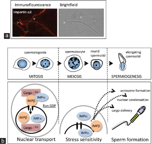Importins contribute to many stages of mammalian sperm formation. (a) Importin α2 protein is present in mature mouse spermatozoa. Detection of importin α2 in sperm isolated from the mouse cauda epididymis using direct immunofluorescence revealed that it is localized predominantly to the anterior region of the acrosome, with additional signals detected most readily in the principle piece of the tail. (b) Schematic illustration of phases of spermatogenesis in which distinct roles for importin proteins have been identified or postulated through the studies outlined in this review. The established role in nucleocytoplasmic transport is likely to function at all stages. The presence of nuclear-localized importins α2 and α4 suggests that they have a role in physiological processes related to cellular stress behaviors in post-mitotic male germline cells. The contribution of importins to formation of the acrosome and other subcellular domains in the highly organized mature spermatid is evident from published and ongoing work.