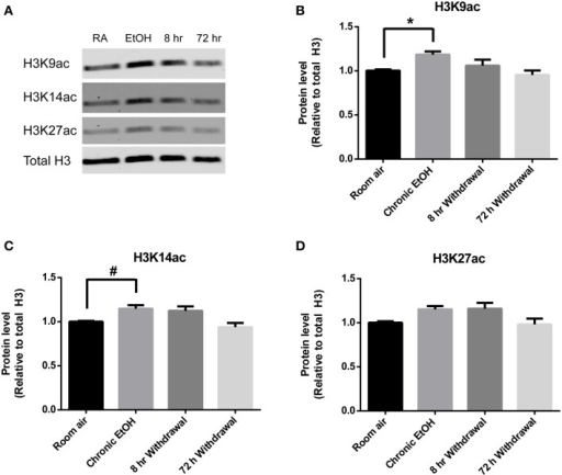 Chronic intermittent EtOH transiently potentiates histone acetylation in NAc. (A) Western blot showing one sample from 6/group analyzed in duplicate. Western blot revealed (B) a significant effect of EtOH exposure on H3K9ac (p < 0.05) and increased levels immediately following EtOH exposure, (C) a significant effect of EtOH on levels of H3K14ac (p < 0.01) and a trend for increased levels immediately following EtOH exposure, and (D) a significant effect of EtOH on levels of H3K27ac (p < 0.05). *p < 0.01, #p = 0.056, n = 6/group, data presented as mean ± SEM.