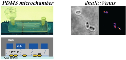 Assembly of bacterial microchamber.A) Picture of an assembled microchamber connected to a reservoir at one side and to a needle at the other side, which will be connected later to a syringe pump. B) Schematic of a cross section of the microchamber. C) Image of bacteria growing in 2 dimensions.