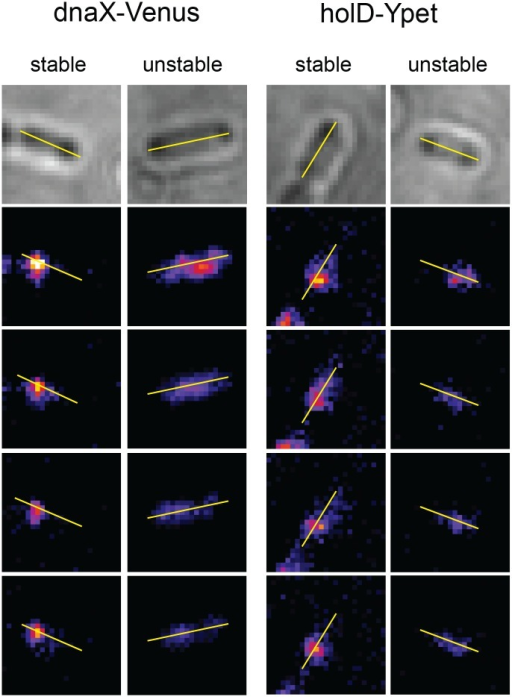 Examples of stable and unstable replisome proteins foci.Using the Image J software, a line was drawn from pole to pole on each cell on the brightfield image (top picture), and translated to the fluorescent image frames (four bottom pictures show the first four frames, used for the analysis). This line is used as a fixed mark and indicates the position of the bacteria on the fluorescent images, where the general shape of bacteria is not visible. Spots were manually detected, only spots counting more than 5 pixels (I pixel ~ 140 nm) were taken into account as spots counting less than 5 pixels could be observed at a relatively high rate in wild-type cells devoid of fluorescent protein and presumably result from autofluorescence. As shown in S4 Fig, for foci with a maximum intensity on the line in the first fluorescent picture, the intensity along the line was used to determine whether a focus is stable (moves by no more than one pixel on at least 3 of the first 4 frames), or unstable (moves by more than one pixel or disappears). For other foci stability was determined by eye, using the pole to pole line as a position reference.