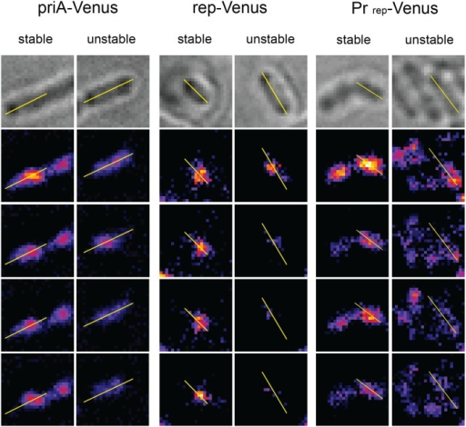 Examples of stable and unstable PriA-Venus and Rep-Venus foci, and of stable and unstable foci observed in cells that express Venus from the rep promoter.For each bacteria, the first four frames of the fluorescent series of images are shown below the brightfield picture (top). See the legend to Fig 2 for details.