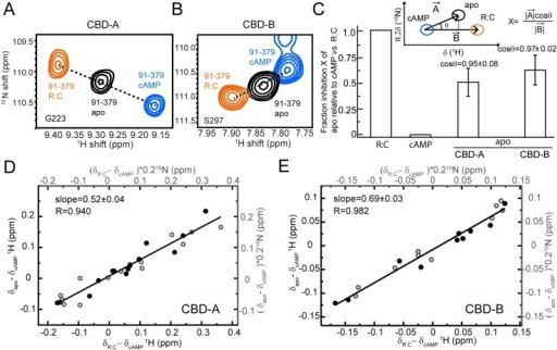 Conformational selection in CBD-A and -B of RIα (91–379).(A, B) Overlay of apo, cAMP2-bound, and C-bound RIα (91–379) for cross-peaks of representative residues sensing the active versus inactive equilibria in CBD-A (A) and CBD-B (B). (C) Fractional inhibition of apo RIα (91–379) (X) relative to cAMP2- and C-bound RIα (91–379), assuming they represent the active and inactive forms of PKA, respectively. The inset illustrates how X was measured using the CHEmical Shift Projection Analysis (CHESPA) method. The bar graph shows the average X values observed for residues in CBD-A and -B exhibiting a linear pattern (/cosθ/ > 0.95). (D) Alternative evaluation of the fractional inhibition of apo RIα (91–379) (X) through the slope of the (δapo−δcAMP) versus (δC−δcAMP) plot, where δapo, δcAMP, and δC are the chemical shifts of apo, cAMP2- and C-bound RIα (91–379). Closed and open circles indicate 1H and 15N chemical shifts, respectively. This plot was restricted to CBD-A residues that are sufficiently removed from the cAMP-dependent interfaces (e.g., R:C, R:cAMP and CBD-A:CBD-B) to report primarily on the active versus inactive equilibrium of CBD-A. (E) Similar to panel (D) but for CBD-B.
