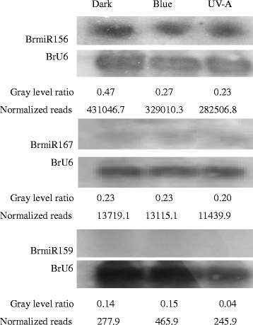 Northern blot analysis of BrmiR156, BrmiR167 and BrmiR159 in seedlings of Tsuda after exposure to dark, blue light or UV-A. 5′-Digoxigenin-labeled DNA oligonucleotide with complementary sequence to miRNA was used as the probe; BrU6 was used as the control. The gray level ratio between miRNAs and BrU6 was used to compare relative expression to normalized reads