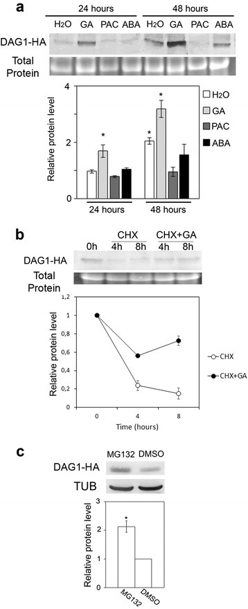 The DAG1 protein is stabilized by GA. a Protein level of DAG1-HA in dag1DAG1:HA seeds imbibed for 24 or 48 h in the presence of water (H2O), GA4+7, paclobutrazol (PAC) or ABA. b Protein level of DAG1-HA in 48 h-imbibed seeds (0), then treated for 4 or 8 h with cycloheximide (CHX), or with CHX and GA. Western blot (top) and densitometric analysis (bottom). c Protein level of DAG1-HA in 5-day-old dag1DAG1:HA seedlings treated with MG132 or DMSO as control. TUB or total protein content were used as loading control. Western blot (top) and densitometric analysis (bottom). GA4+7 (100 μM), PAC (100 μM), ABA (3 μM), CHX (50 μM), MG132 (50 μM). The protein levels are the mean of three biological replicates, presented with SD values. Significant differences were analyzed by t-test (*P ≤ 0,05)