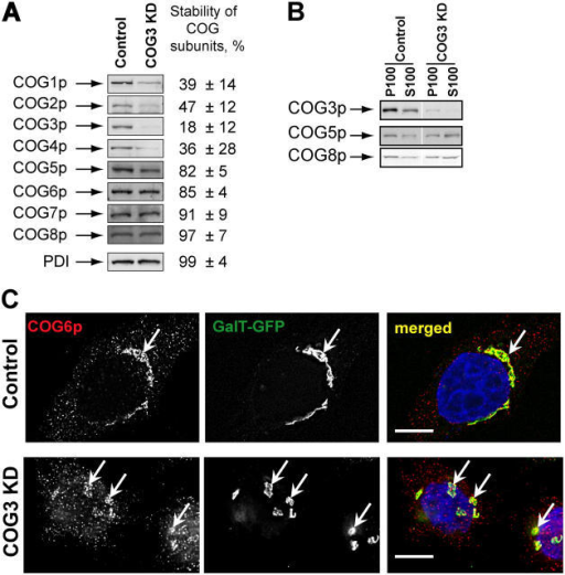 SiRNA-induced COG3 KD is destabilizing Lobe A COG complex subunits. (A) Expression of COG subunits after COG3 KD. WB of cell lysates from control and COG3 KD cells. Average levels of the COG subunits (±SD, n = 4) after 72 h of COG3 KD were determined by quantitative WB, and normalized to mock-transfected cells. (B) Membrane localization of COG complex subunits. WB of membrane (P100) and cytosol (S100) fractions. (C) Cog6p localization. Control and COG3 KD cells that stably express GalT-GFP were fixed and analyzed by three-color IF microscopy after immunostaining with anti-Cog6p. DNA was stained with DAPI. Arrows indicate Golgi or Golgi fragments. Bars, 10 μm.
