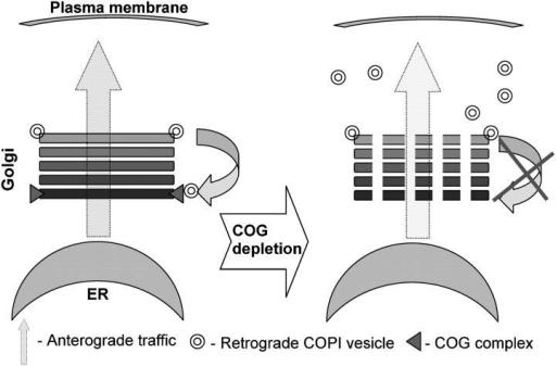 Model for the COG complex function in membrane trafficking. Cis-Golgi localized COG complex acts a tether for retrograde COPI-coated CCD vesicles that originate from the trans-Golgi/endosomal compartment(s). The COG3 KD abolishes vesicle tethering to the cis-Golgi. As a result multiple nontethered vesicles are transiently accumulated in cell cytoplasm and the membrane-depleted Golgi ribbon is fragmented into multiple Golgi mini-stacks.