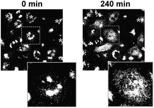 Microinjection of anti-Cog3 antibodies disrupts Golgi structure. GalT-GFP HeLa cells were microinjected with anti-Cog3p IgGs and imaged immediately (0 min) or 4 h (240 min) after the injection. Texas red was used as an injection marker. Note that in cells injected with anti-Cog3 IgGs Golgi (labeled with asterisks) become fragmented. Microinjections with the preimmune IgGs did not result in Golgi fragmentation (date not depicted).