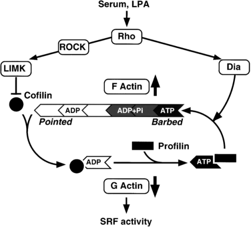 fig6 lim kinase and diaphanous cooperate to regulate serum response factor and actin dynamics