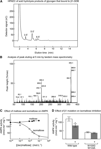 Isolation of Isomaltose as an Inhibitor of AMPK(A) Bovine liver glycogen was subjected to partial acid hydrolysis and the hydrolysate passed through a glutathione Sepharose column to which the GST:GBD fusion had been prebound. The column was eluted with propionic acid and bound oligosaccharides analyzed by HPAEC. The peak eluting at 5 min was the only one found to contain carbohydrate.(B) Analysis of the peak eluting at 5 min by tandem ES-MS using collision-induced dissociation. Oligosaccharide fragments are observed as adducts with Na+ ions, increasing their mass by 23.(C) Effect of maltose and isomaltose on AMPK activity. The curve for isomaltose was generated using the best-fit parameters as in Figure 2A.(D) Effect of GBD double mutation on inhibition of recombinant AMPK by 20 mM isomaltose; results are mean ± SEM (n = 3). ∗Activity different from control without isomaltose by t test (p < 0.05).