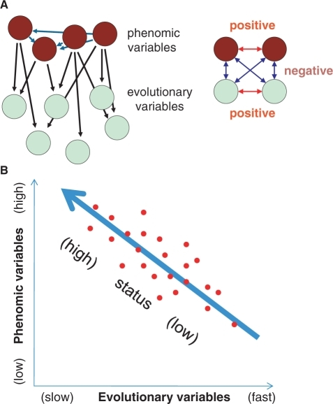 Evolutionary genomics and systems biology. (A) Evolutionary and phenomic variables. The phenomic variables are viewed as mutually dependent and affecting evolutionary variables (left). Positive correlations are shown by red arrows and negative correlations are shown by blue arrows. (B) The concept of gene status. The red points schematically denote data scatter.