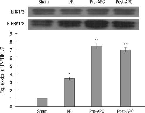 Effect of APC treatment on p-ERK protein in rat heart after 30 min ischemia and 2 h reperfusion. The phosphorylation was quantified by densitometry using image analysis program. Mean±SE, n=6.*P<0.01 vs sham; †P<0.01 vs I/R.