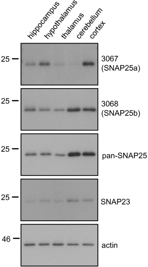 Regional expression of SNAP25a and SNAP25b in rat brain. Lysates from various brain regions (supplied by Zyagen; 3 animals/sample; ~ 10 week old) were resolved by SDS-PAGE and transferred to nitrocellulose for immunoblotting analysis using antibodies against SNAP25a (3067), SNAP25b (3068), panSNAP25, SNAP23 or actin. Position of molecular weight markers are shown on the left side of all blots.
