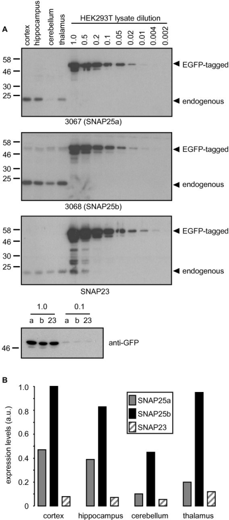 Semi-quantitative comparison of SNAP25 isoform expression levels in human brain. A) Lysates prepared from post-mortem brain samples (pooled from 6 individual patients) were resolved by SDS-PAGE alongside various dilutions of HEK293T lysates from cells transfected with EGFP-SNAP25a, EGFP-SNAP25b or EGFP-SNAP23. Gels were transferred to nitrocellulose and immunoblotted using antibodies against SNAP25a (3067), SNAP25b (3068) or SNAP23. The position of EGFP-tagged and endogenous proteins are highlighted, and molecular weight markers are shown on the left side of all blots. B) The relative levels of SNAP25a, SNAP25b and SNAP23 in brain were calculated by comparison of band intensities to those of the respective EGFP-tagged proteins. Highest expression levels were for SNAP25b in cortex and this was given an arbitrary value of 1, with all other values expressed as a fraction of this.