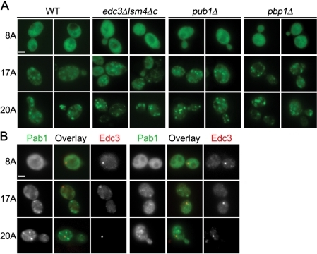 Pab1 polyA-expansion inclusions are not P-bodies or stress granules. (A) Pab18A-GFP, Pab117A-GFP, or Pab120A-GFP expression was induced for 16 h in the indicated strains defective in P-body (edc3Δlsm4Δc) or stress granule formation (pub1Δ and pbp1Δ) and imaged with epifluorescence microscopy. (B) As in (A), except Pab18A-GFP, Pab117A-GFP, or Pab120A-GFP was coexpressed with Edc3-mCherry in wild-type cells. Bars = 2 μm.