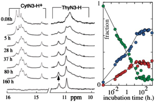 Evolution versus time after initial melting of the composition of a 0.85 mM C3TC3 solution as detected by NMR and chromatography at 20°C. Right side: sms (red), tetramer (cyan) and (monomer + dimer) (green) fractions measured on chromatograms recorded as a function of the time. Left side: NMR spectra of the imino proton region. In the T imino proton region, the intensity of two narrow exchangeable peaks (11.2 and 10.95 ppm) increases as that of the tetramer peak on the chromatograms. The bottom spectrum is a magnetization transfer experiment performed at equilibrium showing the difference between a reference spectrum and a spectrum selectively irradiated during 150 ms at the position indicated by the arrow. The magnetization transfer between the two T imino proton peaks establishes that the oligonucleotide adopts two non-equivalent conformations that exchange together.