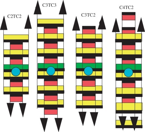 The intercalation topologies of the i-motif tetramers of C3TC3, C3TC2 and C4TC2. Their NMR spectra have characteristics indicating that as in [C2TC2]41 (2), the tetramers include two intercalated duplexes, one (yellow) with a T•T pair (green) stacked on the 5′-adjacent C•C+ pair and the other (red) whose thymidines are looped out in the i-motif wide grove (blue circle). A black heavy line marks the face of the bases oriented in the 5′-direction. The magnetization transfer detected between the T imino protons of each duplex establishes that concerted opening/closing of the T•T pairs switches the duplex conformations. Full intercalation topology of the tetramers of C3TC3 and C3TC2 prevents association into sms. This implies that the sms building block is a minor tetrameric species formed by a reaction parallel to that leading to the fully intercalated tetramer.