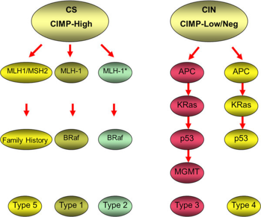 Molecular classification of CRC as described by Jass [17]. Tumours are divided primarily on the basis of CIMP status and microsatellite stability. Group 1 tumours show methylation of MLH1 and B-Raf mutations. They are characterised by CIMP+ and MSI-H, arise from serrated polyps and account for approximately 12% of CRC. Group 2 tumours are similar, but show only partial methylation of MSH1 associated with B-Raf mutation. They are CIMP+, MSS/microsatellite instable-low (MSI-L), arise from serrated polyps and account for approximately 8% of CRC. Group 3 tumours show not only mutations in APC, Kras and/or p53 but also methylation of MGMT. These tumours are CIMP-L and MSS/MSI-L, and show CIS. They can arise in either serrated or classical adenomas, and account for approximately 20% of CRC. Group 4 tumours are the classical type described in Vogelstein's original model [20], which show mutations in APC, Kras and/or p53. These tumours demonstrate CIS and are CIMP- and MSS. They arise in classical adenomas and make up approximately 57% of CRC. Group 5 tumours are those tumours arising in the familial cancer syndrome, HNPCC. They show mutations in one of the DNA MMR genes, are CIMP-, but MSI-H and account for approximately 3% of CRC (adapted from Ibrahim and Arends, [146]).
