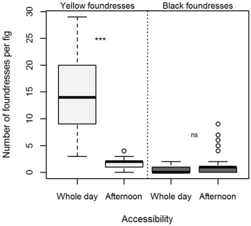 Colonization by pollinators of Ficus septica receptive figs whose accessibility has been manipulated.Number of yellow (light grey) and black (dark grey) foundresses found inside figs that have been left accessible to pollination for the whole day or in the afternoon only. Raw data provided as Table S2.