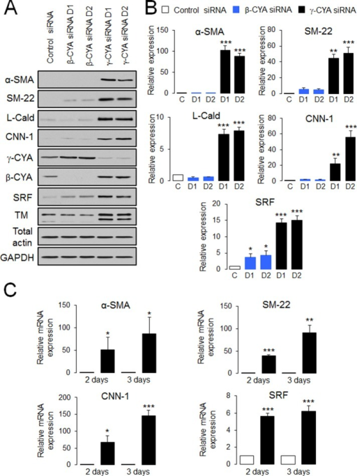 Downregulation of γ-CYA selectively stimulates expression of EMyT markers in lung epithelial cells. A549 epithelial cells were transfected with control or β-CYA– or γ-CYA–specific siRNA duplexes (D1 and D2), and expression of EMyT markers was analyzed by immunoblotting (A, B) and quantitative real-time RT-PCR (C) at different times after transfection. Immunoblots are quantified by densitometric analysis, and protein expression is calculated relative to the control siRNA–treated group. mRNA expression of all EMyT markers is normalized by the expression of a housekeeping gene. Data are presented as mean ± SE (n = 3); *p < 0.05, **p < 0.005, ***p < 0.0005.