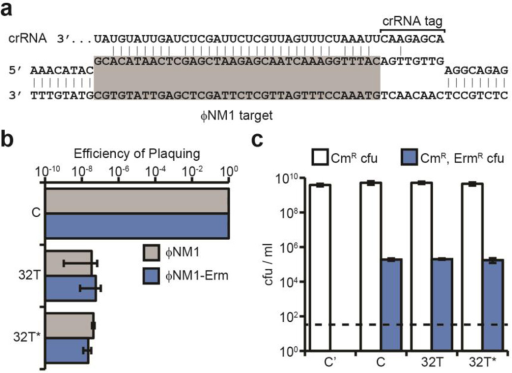 Type III-A CRISPR immunity can block lytic infection but tolerate lysogenizationa, Base pairing interaction between crRNA 32T and its target in the ΦNM1 genome (highlighted in gray). The crRNA tag is a sequence transcribed from the CRISPR repeat that needs to be unpaired with the flanking region of the target to license immunity. The target gene is transcribed from left to right. b, CRISPR immunity against ΦNM1 infection provided by spacers 32T and 32T* (similar to 32T but without mismatches), measured as a decrease in the number of plaque forming units (pfu) with respect to the non-targeting control pGG3 (C). c, Lysogenization with ΦNM1-ErmR in the presence of spacers 32T and 32T* or the pGG3 control (C), measured as the number of chloramphenicol- and erythromycin-resistant colony forming units (cfu) per ml obtained after infection. Control cells lysogenized with ΦNM1 (C') lack the ermC insertion and do not yield erythromycin-resistant cfu. Error bars: mean ± s.d. (n=3).