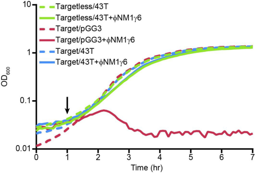 Immunity to ΦNM1γ6 in liquid culture is unaffected by the presence of a tolerated chromosomal targetGrowth curves of the indicated chromosomal insertion strains from Fig. 3 harboring either spacer 43T or pGG3 CRISPR plasmids, in the absence (dotted lines) or presence (solid lines) of ΦNM1γ6 addition at a MOI of 10. Black arrow denotes the time of phage addition; no ATc induction is utilized in this assay. The presence of a chromosomal target for spacer 43T has no discernable effect on culture growth during spacer 43T-mediated immunity to ΦNM1γ6 (compare solid green and blue lines).
