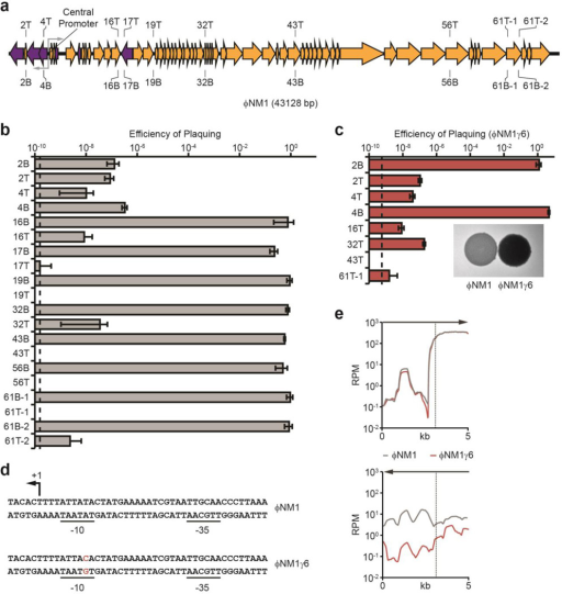 Transcription of target sequences is required for type III-A CRISPR immunitya, Schematic diagram of the ΦNM1 genome and the position of targets used in this study. T, crRNA anneals to the top strand; B, bottom strand. Gray arrows represent the ΦNM1 central promoter driving divergent transcription. b, Immunity against ΦNM1 infection provided by spacers targeting the phage regions shown in a. Dotted line indicates the limit of detection for the assay. c, Immunity against ΦNM1γ6 infection. Inset; comparison of lysis phenotypes for ΦNM1 (turbid) and ΦNM1γ6 (clear), representative of four technical replicates. d, Leftward promoter consensus sequences at the ΦNM1 and ΦNM1γ6 central promoter. The ΦNM1γ6 mutation in the −10 element is shown in red. The putative transcription start site is noted (+1). e, Comparison of phage transcription profiles from cells infected with ΦNM1 (gray line) or ΦNM1γ6 (red line), 15 minutes post-infection. Phage-derived transcripts are plotted in reads per million total-mapped reads (RPM) relative to their position on the genome; arrows indicate the direction of transcription plotted in each graph; the vertical dotted line marks the position of the central promoter. Error bars: mean ± s.d. (n=3).