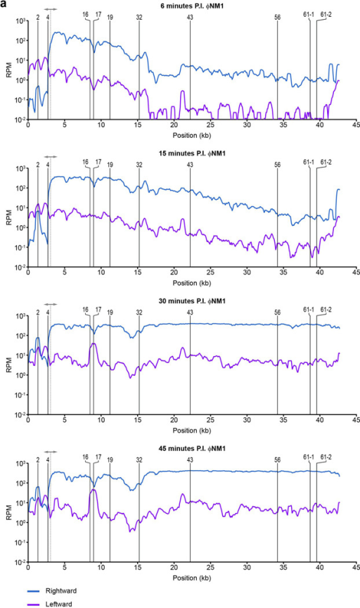 Visualization of ΦNM1 transcription profiles 6, 15, 30, and 45 min post infection (MOI 20)Rightward and leftward expression values are plotted as blue and fuchsia lines, respectively, in reads per million (RPM). Position of relevant spacer targets are indicated with vertical solid lines. The dotted line with arrowheads marks the position of the central promoter. To improve readability, all curves were smoothened by plotting the average RPM values over a 500 bp sliding-window. To the left of the central promoter, rightward expression is comparable to leftward expression by 30 min post infection, consistent with the strand-independent targeting observed for this region.