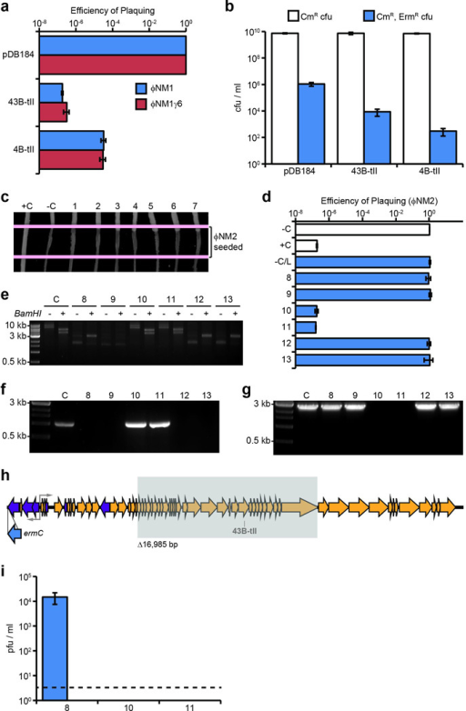 Type II CRISPR-Cas targeting in S. aureus prevents both lytic and lysogenic infectiona, Plaquing efficiency of ΦNM1 and ΦNM1γ6 on lawns of RN4220 harboring type II-A CRISPR-Cas plasmids as indicated. The parental vector, pDB184, serves as a non-targeting control. b, ΦNM1-ErmR lysogenization of RN4220 harboring either the spacer 43B-tII, 4B-tII, or non-targeting type II-A CRISPR plasmids. c, ΦNM2 sensitivity assay for seven randomly selected ΦNM1-ErmR lysogen clones isolated during infection of RN4220/spacer 43B-tII (1–7). For comparison, a resistant non-lysogen harboring the spacer 43B-tII plasmid and a sensitive lysogen harboring the pDB184 plasmid were included as controls (respectively, C+ and C−). Picture represents a single experiment for 7 of 22 isolates. d, ΦNM2 plaquing efficiency on soft agar lawns for an additional six randomly selected ΦNM1-ErmR lysogen clones isolated during infection of RN4220/spacer 43B-tII (8–13); a ΦNM1-ErmR lysogen harboring the pDB184 plasmid is also tested (−C/L). For comparison, plaquing efficiency of ΦNM2 on the non-lysogenic indicator strain harboring pDB184 or the targeting spacer 43B-tII plasmid are also shown (−C and +C, respectively). e, Agarose gel electrophoresis of plasmid DNA purified from isolates 8–13 and the parental spacer 43B-tII strain (C). +/− indicate the presence or absence of treatment with the BamHI restriction enzyme which produces 2 bands for the wild type spacer 43B-tII plasmid: 5367 bp and 3972 bp. Size markers correspond to 10 kb, 3 kb, and 0.5 kb bands of the 1kb DNA ladder from NEB. f, Colony PCR spanning the type II CRISPR array for isolates 8–13. Spacer 43B-tII plasmid DNA was used as a template for the control (C). 3 kb and 0.5 kb size markers are indicated. g, Colony PCR spanning the target region for isolates 8–13 and a ΦNM1-ErmR lysogen harboring the pDB184 control plasmid (C). Isolates # 10 and 11 harbor identical deletions within the prophage that remove the target region (see below). 3 kb and 0.5 kb size markers are indicated. The presence of attL and attR prophage integration arms was also verified independently for each isolate using PCR (data not shown). h, Location of the 16,985 bp deletion identified within the prophage harbored by isolates # 10 and 11 (shaded gray box). The location and orientation of the ermC insertion cassette is also shown (blue arrow). Deletion was mapped by primer walking. An ~9.1 kb product spanning the deletion was ultimately amplified using primers oGG6 and oGG241, and the deletion junction was sequenced by the Sanger method using oGG245. A perfect 14 bp direct repeat micro-homology flanks the deletion. i, Plaque-forming potential of overnight culture supernatants from isolates # 8, 10, and 11. Supernatants were plated by the soft agar method with RN4220 cells harboring the non-targeting pDB184 control plasmid as an indicator strain. Supernatants were also plated with spacer 43B-tII targeting lawns, yielding no detectable pfu. Isolate 8 appears to exhibit wild type levels of spontaneous prophage induction (compare to pGG3 control in Fig. 4a). No plaque-forming units were detected from the supernatants of isolates # 10 and 11 whatsoever, presumably resulting from their deletion of genes essential for prophage induction, including the ORF 43 major capsid protein. Dotted line represents the limit of detection for this assay. Error bars: mean ± s.d. (n=3). Panels e through g represent single experiments for 6 of 22 isolates.
