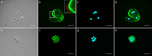 Phalloidin staining of cells treated with and without DPT.The number of thick and extended lamellipodia forming cells was higher in DPT treated cells (a - d) than in control cells (e - h). A typical representation of images are (a & e) Phase contrast image showing the cytoplasmic protrusions formed. (b & f) F-Actin filaments stained with Phalloidin (green) showing the thick actin network formed at the migrating edge, a typical phenotype of the migratory cells. (c & g) Nucleus stained with DAPI (blue). (d & h) Fused image showing the stained nucleus and F-actin. The focal adhesion points formed in the direction of migration are indicated by red arrows in the subset of image b. Scale bar – 50 μm.