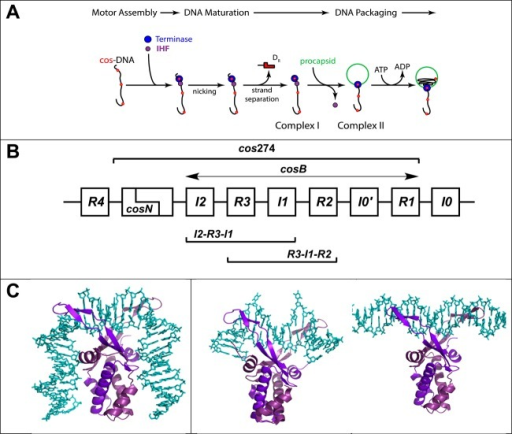 "(A) Assembly of a viralgenome maturation and packaging complexat the cos site of the lambda genome. The terminaseprotomer is composed of one large gpA subunit tightly associated withtwo smaller gpNu1 subunits. Four protomers and an indeterminate numberof IHF dimers cooperatively assemble at a cos sequenceof a genome concatemer to engender the packaging motor complex; cos (red dots) represents the junction of two genomes ina concatemer and serves as the packaging initiation site. Terminaseand IHF are depicted as blue and purple circles, respectively, forthe sake of simplicity. The assembled motor nicks the duplex at cosN to yield the 12-base ""sticky"" end ofthe genome (complex I). This intermediate binds a procapsid to yieldthe functional packaging motor (complex II), which translocates viralDNA into the shell. (B) Detail of the cos regionof the lambda genome. The sequence is multipartite consisting of cosN (nicking) and cosB (binding) subsites; cosB extends from I2 to R1 elements. The gpNu1 subunit specifically interacts with the threeR elements, and several putative IHF consensus sequences have beenidentified (I0–I4). The model duplexes used in this study areindicated in the Figure: cos274 (274 bp), [R3-I1-R2](75 bp), [I2-R3-I1] (75 bp), I1 (27 bp), and R3 (27 bp). (C) Structuralmodels for IHF–DNA nucleoprotein complexes. The left panelshows the crystal structure of IHF bound in a specific complex withthe H′ element of attP (PDB entry 1OWF) showing a duplexbend angle of >160°. The DNA binding site size in this complexis ∼34 bp. The middle panel shows the cocrystal structure of Anabaena HU protein bound in a nonspecific complex (PDBentry 1P71)depicting a ""weak"" (∼105°) bend in the duplexthat is found in condensed, nucleoid DNA. The DNA binding site sizein this complex is ∼20 bp. The right panel shows the structuralmodel for IHF bound in a nonspecific, linear complex. The model wasconstructed using MacPymol by manually docking the crystal structureof IHF onto the minimal nonspecific R3 duplex. The DNA binding sitesize in this complex is ∼8 bp. In all structures, DNA is coloredcyan and the α and β subunits of IHF are colored lightand dark purple, respectively."
