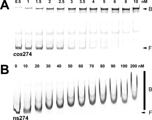 Electrophoretic mobility shift (EMS) studies of bindingof IHFto specific (cos274) and nonspecific (ns274) DNAsubstrates. (A) Representative polyacrylamide gel showing that IHFbinds to the specific cos274 substrate to afforda distinct retarded complex. The positions of free (F) and bound (B)DNA complexes are indicated with arrows at the right of the gel image.The band in the middle of the gel represents a contaminant in theIRDye-labeled duplex (Supporting Information). It is unaffected in the titration study and was not consideredin the calculation of Fbound. (B) Representativepolyacrylamide gel showing that IHF binds to the nonspecific ns274substrate to afford a concentration-dependent shift and smear on thegel. The positions of free (F) DNA and the bound (B) DNA complexesare indicated at the right of the gel image with an arrow and bar,respectively.