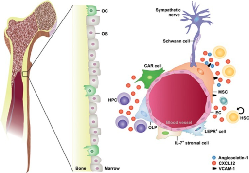 The hematopoietic stem cell niche. Various cell types including osteoclasts (OCs), osteoblasts (OBs), osteolineage progenitor cells (OLPs), endothelial cells (ECs), mesenchymal stem/stromal cells (MSCs), specialized CXCL12-abundant reticular (CAR) cells and leptin receptor (LEPR)-positive cells contribute to the structure of the BM microenvironment. In addition, this microenvironment is innervated by sympathetic nerves fibers ensheated by nonmyelinating Schwann cells. Hematopoietic stem cells (HSCs) are located in the perivascular region of sinusoids and arterioles in close proximity to MSCs and ECs that regulate HSC maintenance and differentiation through soluble factors such as CXCL12 and angiopoietin-1 or cell contact-dependent signals such vascular cell adhesion molecule-1 (VCAM1). HPC, hematopoietic progenitor cell
