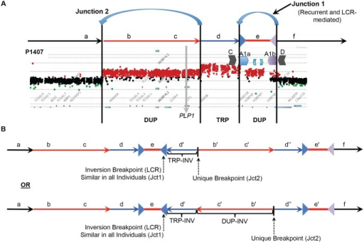 DUP-TRP/INV-DUP structures at the PLP1 locus.A) The aCGH results from patient P1407 showing a duplication of PLP1 and a distal triplication-duplication structure are shown at the top, with duplications in red and triplication in blue. The relative genomic regions are labeled with letters to distinguish their relative positions within the CGR. The IRs flanking segment e (A1a and A1b) are denoted by inverted blue and purple triangles, respectively. B) Two potential structures of the generalized DUP-TRP/INV-DUP rearrangement that are consistent with Jct2 sequencing are shown in the lower panel of the figure in relation to the canonical genomic structure at the top. Here, the unique proximal breakpoint junction location that differs between patients, the LCR-mediated distal inversion breakpoint junction, and the inverted triplication region are seen. Letters followed by a prime symbol indicate duplicated segments. Two prime symbols indicate the triplicated segment.