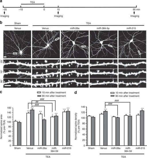 The downregulation of miR-26a and miR-384-5p is required for spine plasticity associated with LTP.(a) Experimental design. (b) Representative images. (c,d) Quantification of b. n=10–18 neurons for each condition. Data are presented as mean±s.e.m. Kruskal–Wallis and Mann–Whitney U-tests are used for statistical analysis. *P<0.05, *** and ##P<0.01, ###P<0.001. Scale bar, 20 μm for low-magnification images and 5 μm for high-magnification images.