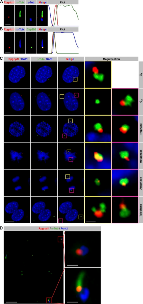 Rpgrip1l localizes at the ciliary TZ in G0 phase and at centrosomes during mitosis. (A–C) Immunofluorescence on MEFs (isolated from E12.5 embryos). (A and B) Plots indicate fluorescent intensities of each channel along the cilium from base (left) to tip (right). (A) The ciliary axoneme is marked by acetylated α-tubulin (α-Tub) and the BB by γ-tubulin. (B) The ciliary axoneme is marked by acetylated α-tubulin (α-Tub), and the TZ is marked by Cep290. (C) Centrosomes are marked by γ-tubulin, and cell nuclei are marked by DAPI. Insets illustrate higher magnifications of boxed regions. (D) Immunofluorescence on E12.5 murine limbs. The ciliary axoneme is marked by acetylated α-tubulin and centrosomes by Pcnt2. Bars: (A and B) 1 µm; (C) 10 µm; (D, overview) 5 µm; (D, magnification) 1 µm.