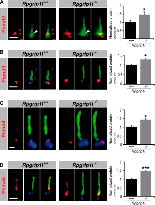 Rpgrip1l deficiency results in an accumulation of proteasomal subunit components at the base of cilia. (A–D) Immunofluorescence on MEFs of E12.5 WT and Rpgrip1l−/− embryos (both genotypes: Psmd2, n = 7 embryos; Psmd3, n = 3 embryos; Psmd4, n = 3 embryos; Psma5, n = 5 embryos). At least 10 cilia per embryo were used for Psmd2, Psmd3, and Psmd4 quantification, respectively, and 20 cilia per embryo were used for Psma5 quantification. The ciliary axoneme is marked by acetylated α-tubulin (green). The BB is marked by Pcnt (green; white arrowheads; A) or γ-tubulin (blue; B–D). Error bars show standard error of the mean. *, P < 0.05; ***, P < 0.001. Bars: (A, B, and D) 1 µm; (C) 0.5 µm.